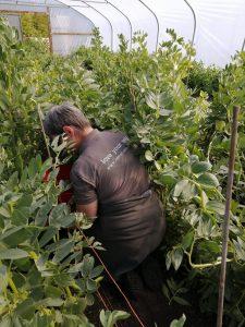 harvesting-broad-beans-camelcsa-070521