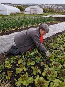 harvesting-Freckles-lettuce-camelcsa-280521