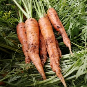 bunched-carrots-camelcsa-110621