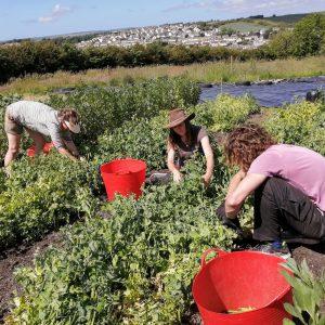 harvesting-peas-camelcsa-150621