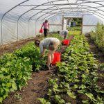 harvesting-beans-camelcsa-150621