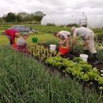 harvesting-salad-leaves-camelcsa-250621