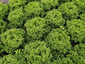 lettuce-claremont-camelcsa-020721
