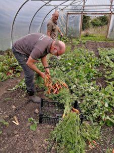 harvesting-carrots-camelcsa-080721