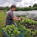 harvesting-radishes-camelcsa-080721