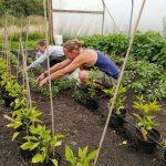 harvesting-basil-polytunnel-camelcsa-230721