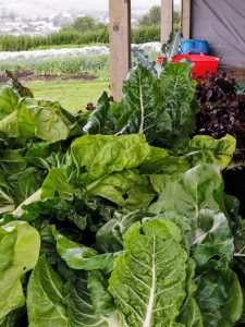 vegetable-harvest-camelcsa-300721