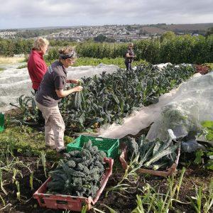 harvesting-cavolonero-camelcsa-050821